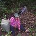 Brazil nut harvesting