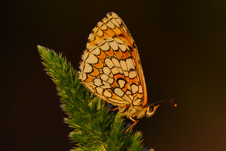 Melitaea deione (10) (Golden hour)