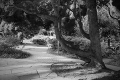 Tree and shadows (FSR Photography) Tags: trees tree travel travelling bäume baum bw blackandwhite blackwhite bielefeld black blätter sw schwarzweis schwarzweiss schwarz schatten shadows monochrome monochrom light leaves licht lightroom laub lights photoshop nik nordrheinwestfalen canon canon400d canondslr contrast kontrast 2016 deutschland de dslr einfarbig reisefotografie reise holz holzstamm lichter natur nature outdoor park white weiss ways weg wege way fsr fsrphotography