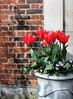 The Tulips Stand Arrayed (Esther Spektor - Thanks for 12+millions views..) Tags: flowers plant tulip pot wall brick red green white availablelight spring estherspektor canon
