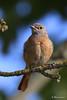 Rougequeue à front blanc (Thierry Laurent , Le Tréport) Tags: coth5 platinumpeaceaward bird birds watchers sunrays5 nature wild willdlife sauvage naturesauvage liberty life viesauvage vie