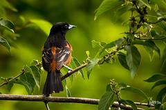 Orchard Oriole  (male) (jt893x) Tags: 150600mm bird d500 icterusspurius jt893x male nikon nikond500 orchardoriole oriole sigma sigma150600mmf563dgoshsms songbird specanimal