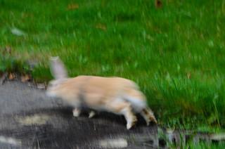 Run rabbit - pet rabbit on the loose, Northycote Farm
