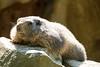 alpine marmot (whaitschnoik) Tags: marmot murmeltier fz1000 animals