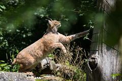 Lynx (Cloudtail the Snow Leopard) Tags: luchs wildpark wildtierpark bad mergentheim tier animalsäugetier mammal animal säugetier lynx katze cat feline beutegreifer predator pinselohr