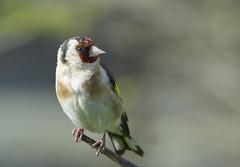 Goldfinch (J J McHale) Tags: europeangoldfinch cardueliscarduelis goldfinch