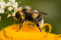 Bumblebee (Bombus cf veteranus) (The LakeSide) Tags: macro slovakia vysoke tatry tatra high nikon r1c1 d7100 insect bee bumblebee bombus
