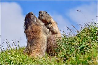 Alpine marmots wrestling
