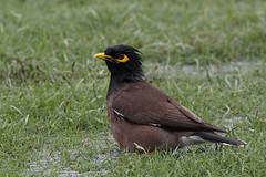 Common Myna (Chris B@rlow) Tags: acridotherestristis commonmyna myna mynabird bird birds indianbirds dehli newdehli india indianwildlife nature wildlife canon7dmarkii sigma150600sport