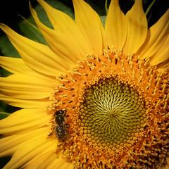 ... (a.penny) Tags: sunflower sonnenblume apenny nikon aw120 coolpix square quadrat 1x1 500x500