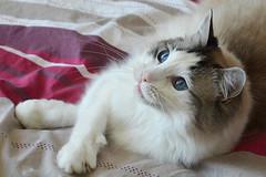 Ragdoll cat portrait _50162 (ichauvel) Tags: chat cat ragdoll regard eyes yeux bleus blue attitude animaldecompagnie pet interieur inside lit bed france europe westerneurope getty