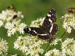 Landkärtchen Sommer (reuas ogni) Tags: landkärtchen sommer araschia levana schmetterling falter butterfly olympus zuiko isoz