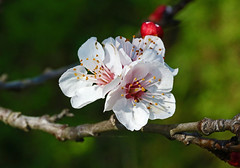 Apricot Blossom - 93/100 (DaveSPN) Tags: 100flowers2017