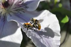 DSC_0200_Narcissus bulb flies on clematis(?) OR_Sara Morris (fyberduck) Tags: clematis diptera multnomahcounty nonnative oregon pollinatorgarden portland