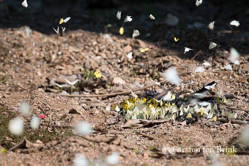 Luang Prabang butterflies