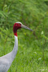 Sarus crane, portrait (mathewindelhi) Tags: sarus crane bird birdphoto birdphotography wild wildlife india delhi nature portrait