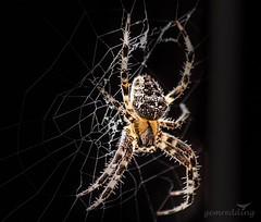 Garden Spider - Araneus diadematus (gemredding) Tags: spider garden gardenspider black dark web insect outside nature wild wildlife