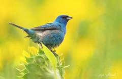 Indigo Bunting (nature55) Tags: indigobunting bird aves sunflower wisconsn popefarm middleton midwest birds birding blue