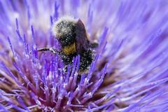 #2  More Bee Heaven (gavsidey) Tags: bee bumble purple indigo blue flower insect macro pollen heaven