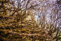 Gocha-la trek in Sikkim, India (David Ducoin) Tags: asia dzongri forest gochala hike himalaya india kangchenjunga nationalpark rhododendron rhododendrontree rodh sikkim stilllife tree trek gangtok in