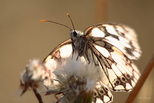 Butterfly 15762