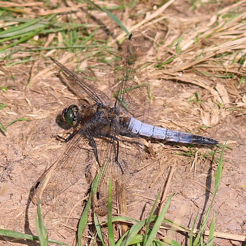 black tailed skimmer - orthetrum cancellatum