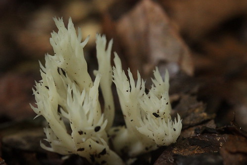 White Coral Fungus - Clavulina coralloides