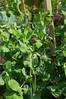 Kapuzinererbse2 (Two_tango) Tags: garden garten vegetable gemüse erbse kapuzinererbse blauschwokker pea