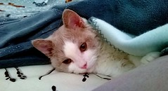 Under the covers... (Antiphane) Tags: chat cat chaton kitten selkirk rex pet animal de compagnie