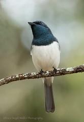 Leaden Flyctcher,male_99A2206 (ozwildbird) Tags: bird flycatcher leadenflycatcher australianbird woodlandbird songbird