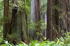Trees (BDFri2012) Tags: redwoods redwoodhighway prairiecreekredwoodsstatepark trees tree ferns forest california californiaredwoods ca northerncalifornia pacificnorthwest californiastatepark landscape outdoors outside redwoodnationalpark redwoodnationalandstateparks