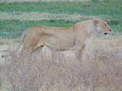 DSC00413 (francy_lioness) Tags: safari jeep animals animali ippopotami leone savana gnu elefante iena pumba tanzaniasafari ngorongorocratere gazzella antilope leonessa lioness facocero