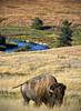 Grazing on the Bison Range (explored 8/28/17) (Spokeannie) Tags: bison nationalbisonrange grazing vertorama montana buffalo