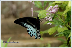 7152 - blue mormon (chandrasekaran a 40 lakhs views Thanks to all) Tags: bluemorman butterfly insects india nature kanthallor kerala canoneos760d tamronaf18270mmpzd