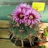 Ferocactus latispinus '150' (Pequenos Electrodomésticos) Tags: cactus cacto flower flor ferocactus ferocactuslatispinus