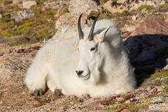 Mountain Goat nanny resting on the tundra