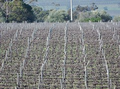 Vine Density (mikecogh) Tags: mclarenvale vines vineyard rows repetition viticulture soil posts