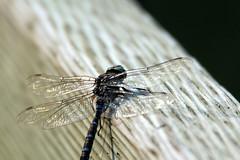 IMG_8188 (vipermikey) Tags: alberta canada parkscanada banff banffnationalpark mountains rockies rockymountains vermillionlakes dragonfly