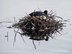 Roath Park Birds 2107 09 18 #23 (Gareth Lovering Photography 5,000,061) Tags: roath park cardiff wales birds swans ducks heron grebe lake water olympus omdem10ii garethloveringphotography