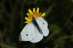 Weissling (Hugo von Schreck) Tags: hugovonschreck weissling butterfly schmetterling falter insect insekt makro macro canoneos5dsr tamron28300mmf3563divcpzda010 buzznbugz fantasticnature