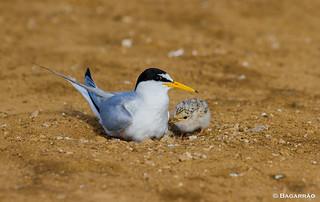 Andorinha-do-mar-anã | Little Tern | Charrancito común | Sterne naine (Sternula albifrons)