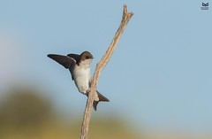 Andorinha-dos-beirais, Common house martin (Delichon urbicum) (Nuno Xavier Moreira) Tags: andorinhadosbeirais commonhousemartindelichonurbicumemliberdadewildlifenunoxavierlopesmoreirangc animals animais aves de portugal observação nature natureza selvagem pics wildlife wildnature wild photographer birds birding birdwatching em bird ao ar livre ornitologia ngc nuno xavier moreira nunoxaviermoreira liberdade national geographic all xpress us delichonurbicum delichonurbica commonhousemartin northernhousemartin