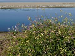 *Raphanus sativus RADISH (openspacer) Tags: brassicaceae nonnative radish raphanus river