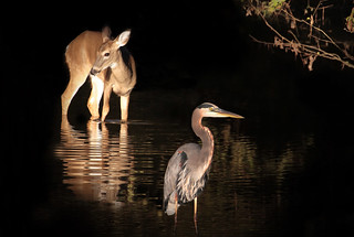 Fawn & heron in morning light