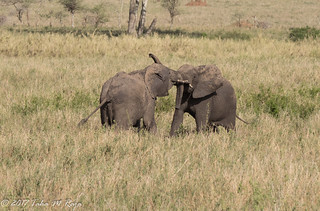Two Young Elephants sparing.  Ready for things to come.