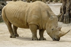 Anglų lietuvių žodynas. Žodis ceratotherium simum reiškia <li>ceratotherium simum</li> lietuviškai.