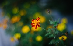 The sense of flowers (Pavel Valchev) Tags: konica hexanon bokeh dof flower nature manual vintage prime mf ring sofia bulgaria a7ii ilce nex fe adapted fotga ar 57mm wideopen