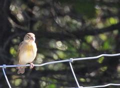 Dickcissel at Sandy Hook, lifer (Tombo Pixels) Tags: audubonwalk dickcissel bird lifer sandyhook170073 sandyhook nj newjersey twb1
