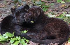 jaguarcub artis BB2A7029 (j.a.kok) Tags: jaguar jaguarcub welp jaguarwelp blackjaguar zwartejaguar cub pantheraonca artis zoogdier dier animal mammal zuidamerika southamerica kat cat predator