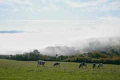 Morgennebel, Kühe und die Sonne (reipa59) Tags: weide kühe morgennebel morgensonne nebel sonne donnersberg pfalz rheinlandpfalz